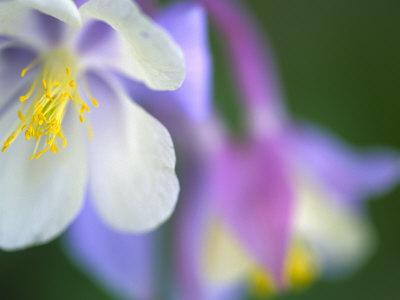Colorado Columbine Flower, Colorado, USA Stretched Canvas Print