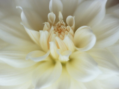 White Dahlia Close-up Stretched Canvas Print