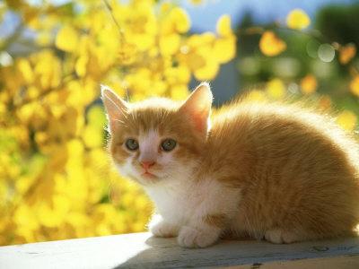 Lulu the Kittypet Alan-and-sandy-carey-orange-and-white-kitten-usa