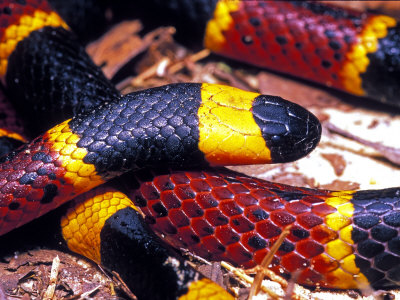 Eastern Coral Snake, Alachua Co. Stretched Canvas Print