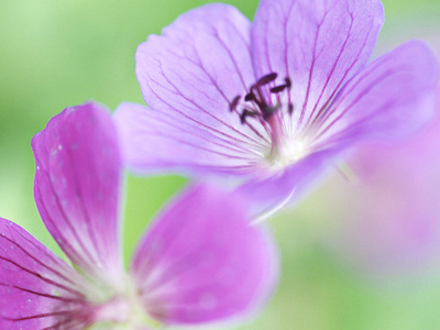 "Geranium ""Blue Sunrise,"" Close-up of Purple Flower Stretched Canvas Print"