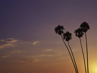Sunset and Palm Trees, Laguna Beach, CA Stretched Canvas Print