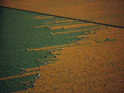 Aerial View of Workers in a Marigold Field Stretched Canvas Print
