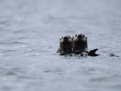 A Pair of Sea Otters Floating in the Waters off Adak Island Stretched Canvas Print