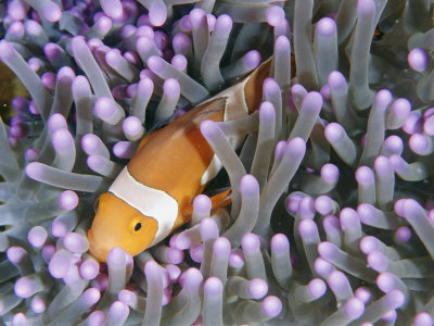 Clown Anemonefish in Sea Anemone, Sipadan Island, East Malaysia Stretched Canvas Print