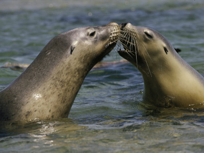 A Pair of Australian Sea Lions Greet One Another Stretched Canvas Print