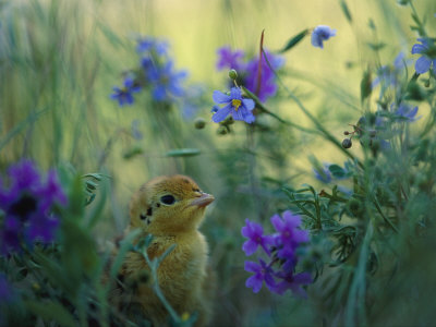 An Attwaters Greater Prairie Chick Surrounded by Wildflowers Stretched Canvas Print