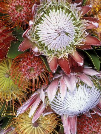 Protea Flower Design, Maui, Hawaii, USA Stretched Canvas Print