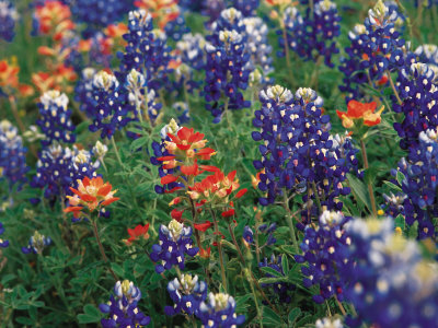 Paintbrush and Bluebonnets, Texas, USA Stretched Canvas Print