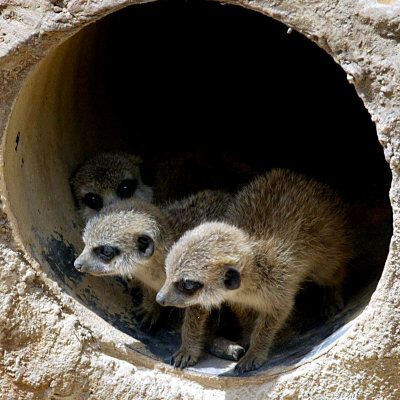 Three of Jenny the Meerkats New Babies Venture Out at London Zoo Stretched Canvas Print