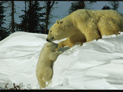 Mother Polar Bear Coaxes Her Cub up a Snow Bank Stretched Canvas Print