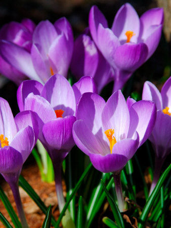 Crocus, Reading, Massachusetts Stretched Canvas Print