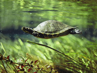 A Freshwater Turtle Swimming Underwater Stretched Canvas Print