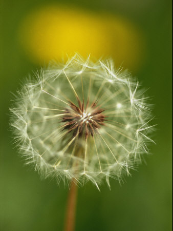 Close View of a Dandelion Gone to Seed Stretched Canvas Print