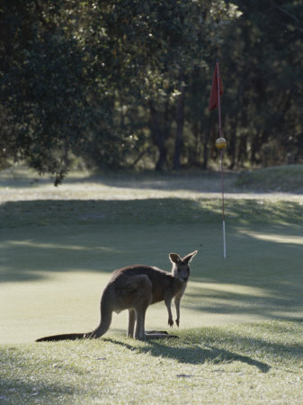 An Eastern Grey Kangaroo Temporarily Disrupts a Golf Game Stretched Canvas Print