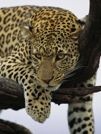 Close View of Leopard in Tree Stretched Canvas Print