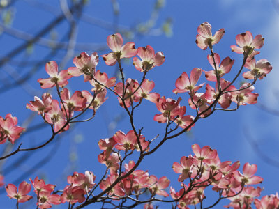 Spring Flowers, Pink Dogwood, Mid-May, Massachusetts Stretched Canvas Print