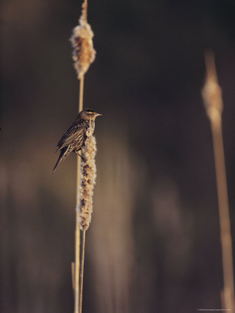 A Female Red-Winged Blackbird Perched on a Cattail Stretched Canvas Print