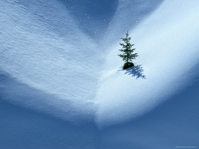 Small Evergreen Tree Clinging to the Side of a Snow Covered Mountain, Rocky Mountains Stretched Canvas Print