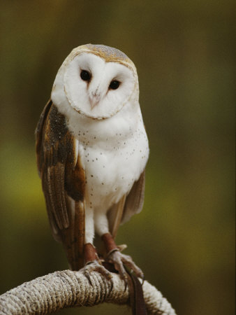 A Snowy-Faced Barn Owl is One of the Wildlife Exhibits at the Nature Station Stretched Canvas Print