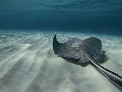 A Southern Stingray Swims Near the Ocean Bed Stretched Canvas Print
