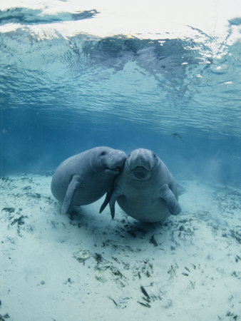 An Underwater Shot of a Pair of Florida Manatees Stretched Canvas Print