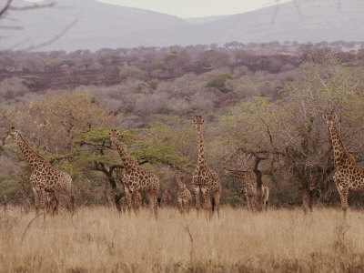 A Group of Reticulated Giraffes in the Savanna Stretched Canvas Print