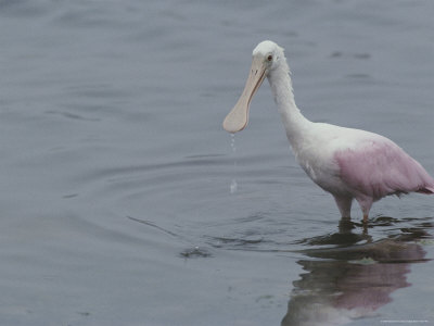 A Roseate Spoonbill Looks for a Meal in the Water Stretched Canvas Print