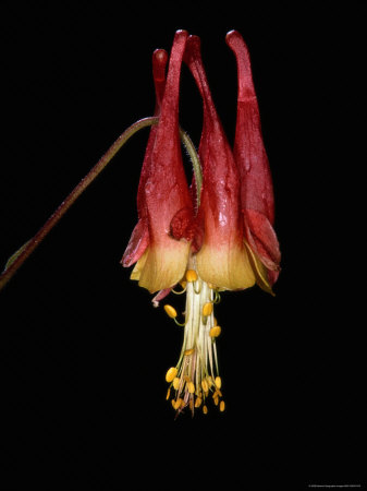 Close-up of an American Columbine Flower Stretched Canvas Print