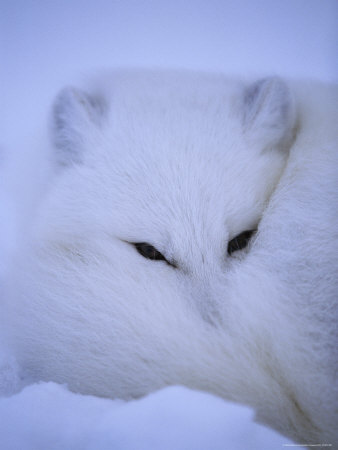 An Arctic Fox Buries Itself in the Crisp White Snow Stretched Canvas Print