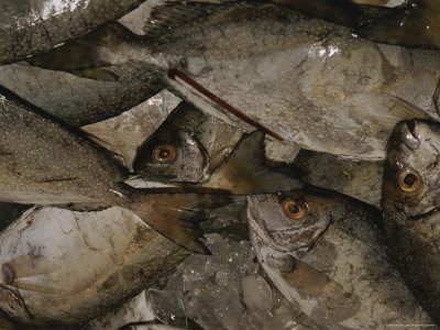 A Crate Full of Fish Await Buyers at a Market in Australia Stretched Canvas Print