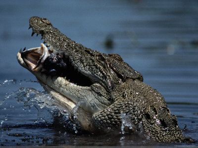 <b>Crocodile Eating</b> a Giant Perch