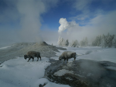 Bison Walking in Front of Lion Geyser in Deep Winter Stretched Canvas Print