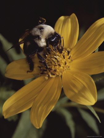 A Bumble Bee Gathers Nectar from a Cosmos-Like Flower Stretched Canvas Print