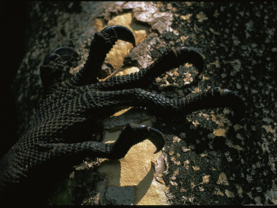 Curled Claws of THE PADANG Monitor Lizard, a Newly-Discovered Species ...