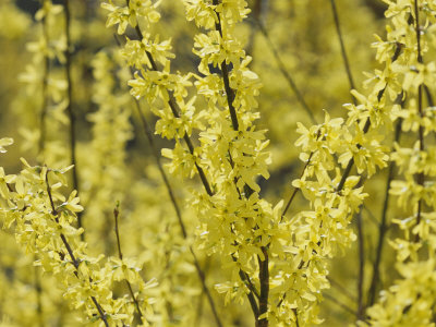 Spring Flowers, Forsythia, Mid-April, Massachusetts Stretched Canvas Print
