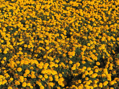 Marigolds in Bloom on a Commercial Flower Farm Stretched Canvas Print