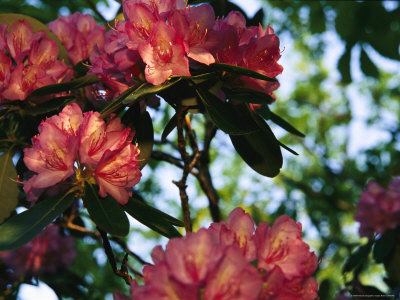 Close View of a Blooming Rhododendron Stretched Canvas Print