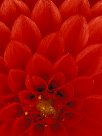 Red Dahlia Petals, Bellevue Botanical Garden, Washington, USA Stretched Canvas Print