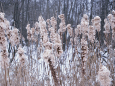 Close-up of Cattails Growing in Forest Stretched Canvas Print
