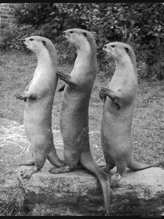 Trio of Otters Stretched Canvas Print