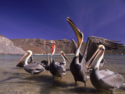 Grey Pelicans, Mexico Stretched Canvas Print