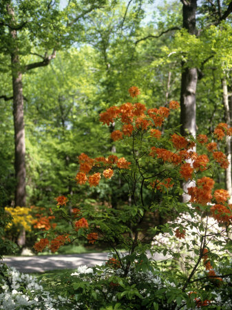 Azalea Way, Botanical Gardens, Bronx, NY Stretched Canvas Print