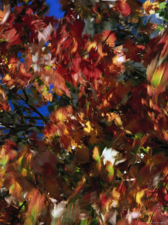 Fall Colors, Maple Leaves Stretched Canvas Print
