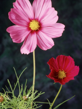 Mixed Cosmos Flowers Stretched Canvas Print