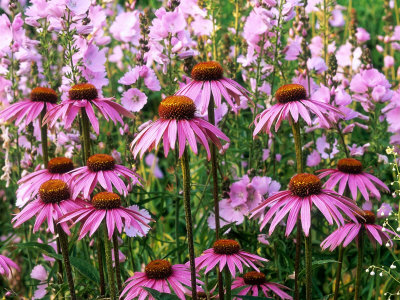 "Pink Summer Border, Echinacea (Coneflower) and Sidalcea Malviflora ""Elsie Heugh"" (Checkerbloom) Stretched Canvas Print"