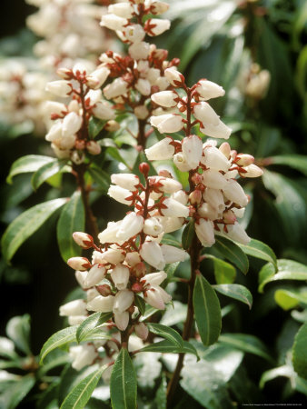 Pieris Japonica, Bonfire (Lily of the Valley Shrub), Evergreen Shrub Stretched Canvas Print