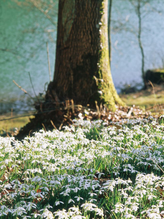 Plants Under Trees Galanthus Nivalis (Snowdrop) Growing Under Tree, March Lake Behind Stretched Canvas Print