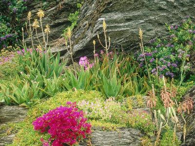 Seaside Rock Garden Salt Tolerant Succulents Hebe Stretched Canvas Print