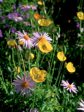 Yellow Meconopis Cambirica (Welsh Poppy) and Mauve Bellis Perennis (Daisy) Stretched Canvas Print
